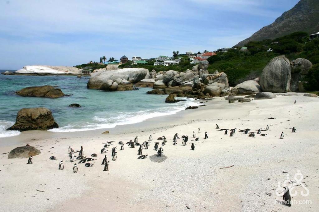 شاطئ البطاريق جنوب افريقيا