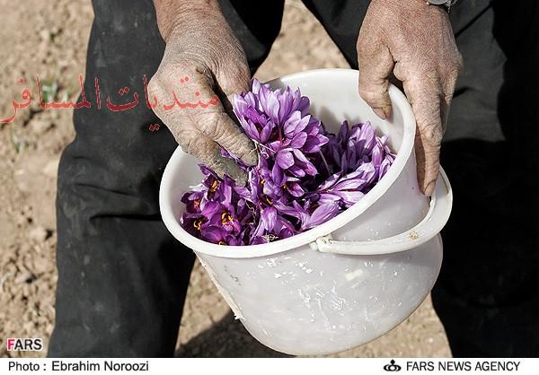 كيف يتم انتاج زعفران