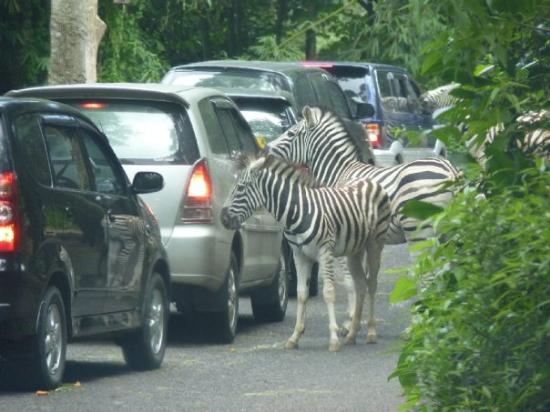 -taman-safari-indonesia-jpg