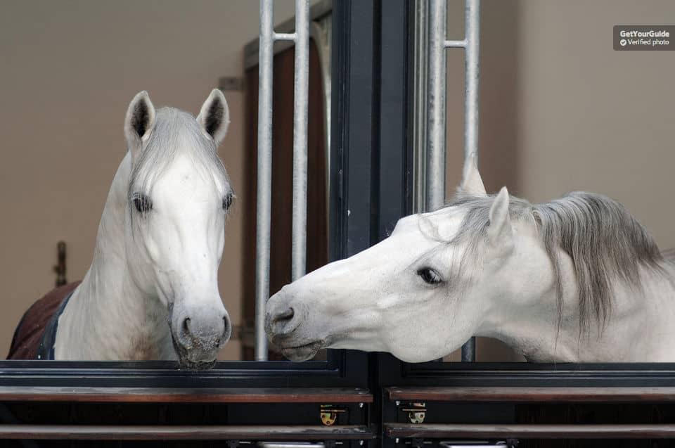 جولة بمدرسة الخيول الاسبانية في فيينا