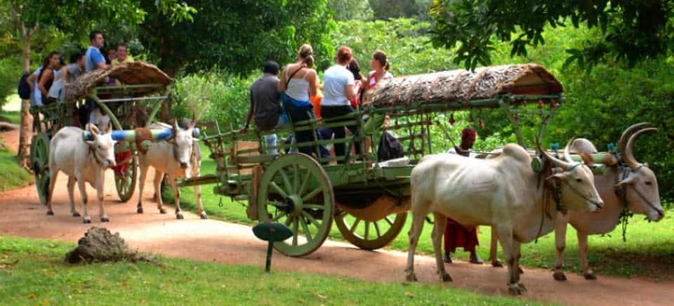 عربة يجرها ثور في village safari