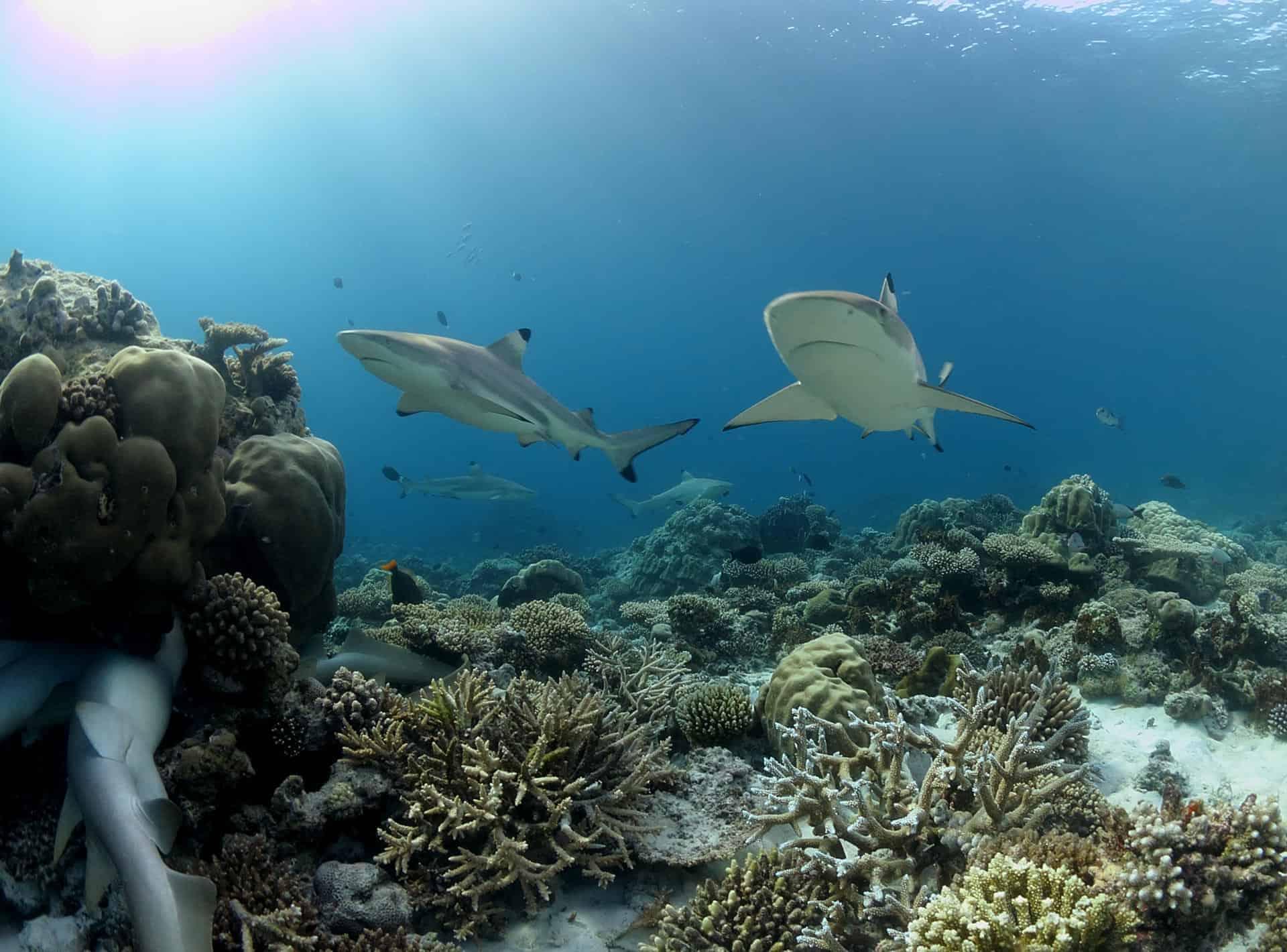 السباحة مع أسماك القرش