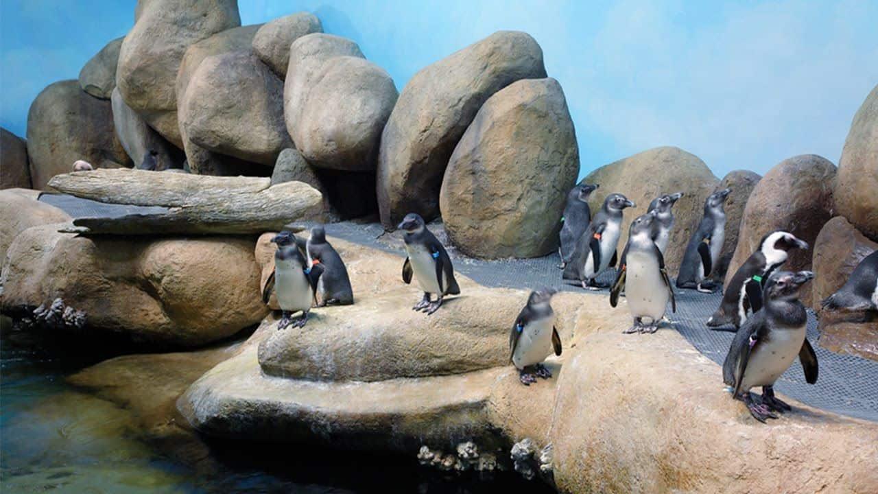 مستعمرة البطريق الأفريقية أكاديمية كاليفورنيا للعلوم
