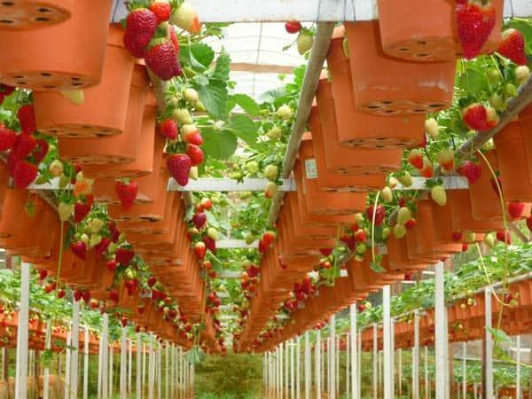 أفضل 3 أنشطة في مزارع الفراولة كاميرون هايلاند