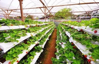 افضل 3 انشطة في مزارع الفراولة كاميرون هايلاند