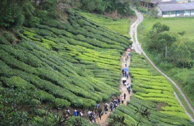 افضل 3 انشطة في مزارع الشاي كاميرون هايلاند