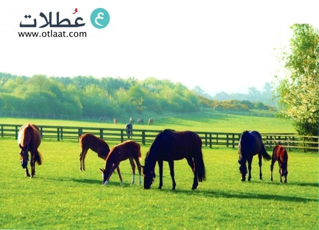 مزرعة لتربية الخيول